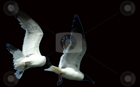 Seagull Ballet stock photo, 2 seagulls flying in tandem lightly outlined in blue and set against a black background by Marburg