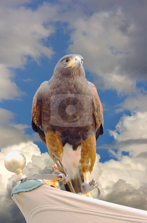 Eagle hawk predatory bird stock photo, Close up of a milano, an european predatory bird by Ivan Montero