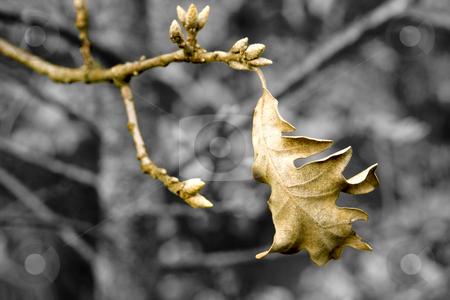 Oak stock photo, Image of oak leaves in fall by Ivan Montero
