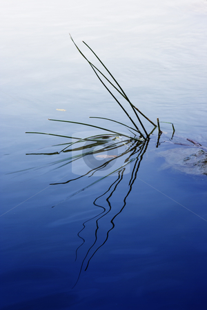 Waterplant stock photo, A plant and its reflexion in the water by Ivan Montero