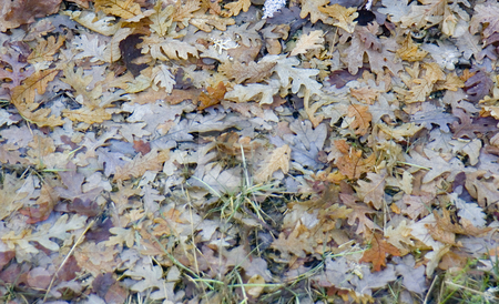 Oak leaves on forest floor stock photo, Image of oak leaves in fall by Ivan Montero