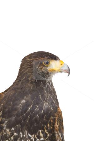 Eagle hawk predatory bird stock photo, Close up of a milano, an european predatory bird by Ivan Montero
