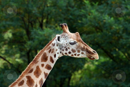 Portraitr of a Giraffe stock photo, Portrait of an adult giraffe in countryside. by Martin Crowdy