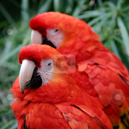 Red Scarlet Macaws stock photo, The Scarlet Macaw is a large colorful parrot. by Henrik Lehnerer