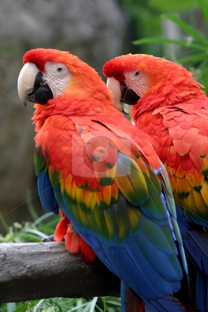 Two Scarlet Macaws stock photo, The Scarlet Macaw is a large colorful parrot. by Henrik Lehnerer