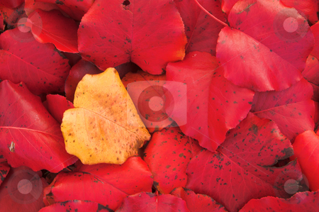 Autumn Leaves stock photo, Beautiful fall colors on an autumn afternoon. by Robert Byron