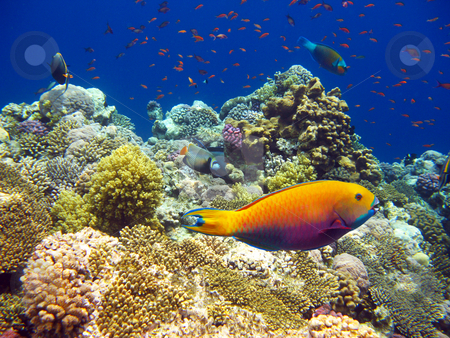 Tropical coral reef stock photo, Tropical fishes and coral reef of red sea by Roman Vintonyak