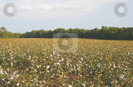 Cotton Field stock photo, A field of cotton ready for harvest. by Robert Byron