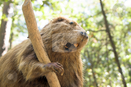 Beaver stock photo, A wild beaver taking a break from chewing a stick. by Robert Byron