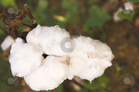 Cotton Boll stock photo, The boll of a cotton plant in a field. by Robert Byron