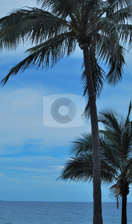 Florida Palm Trees stock photo, Folrida palm trees on Fort Lauderdale Beach in the afternoon by Robert Cabrera