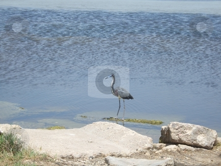 Great Blue Heron stock photo, Great Blue Heron standing on the seashore by Kim Williams