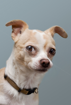 Curious Chihuahua With Perky Ears stock photo, Light brown deer-faced chihuahua gives inquisitive look by Mark S