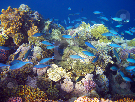 Blue tropical fishes stock photo, Blue tropical fishes and coral reef by Roman Vintonyak