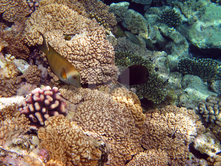 Yellow fish and coral reef stock photo, Yellow fish and coral reef by Roman Vintonyak