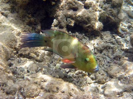 Green tropical fish stock photo, Green tropical fish by Roman Vintonyak