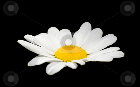 Daisy On Black stock photo, A white daisy isolated on a black background by Richard Nelson