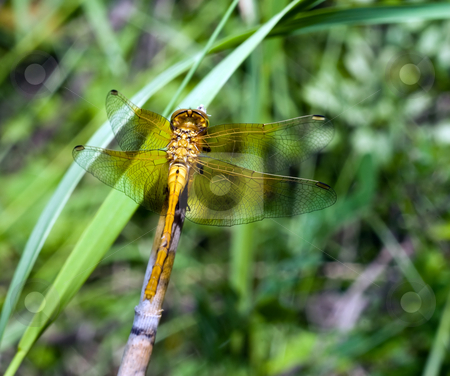 Dragonfly stock photo, An adult dragonfly sitting on a blade of grass by Richard Nelson