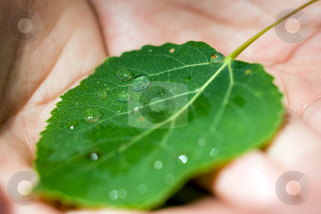 Wet Leaf stock photo, A young girls hands holding onto a leaf with dew drops by Richard Nelson