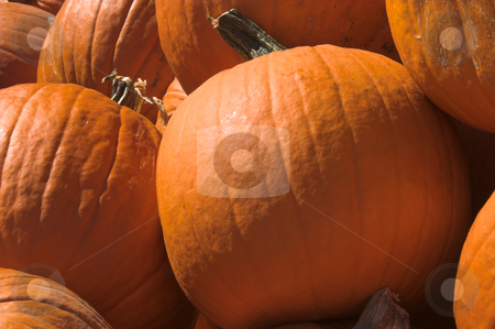 Pumpkins stock photo, A large pile of plump and juicy pumpkins. by Robert Byron