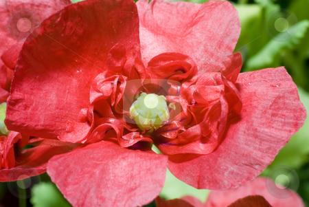 Macro Poppy stock photo, Macro view of a red poppy shot outside by Richard Nelson