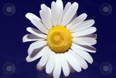 White Daisy stock photo, A white daisy shot against dark blue by Richard Nelson