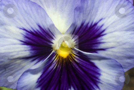 Macro Pansy stock photo, Macro view of a blue and purple pansy by Richard Nelson