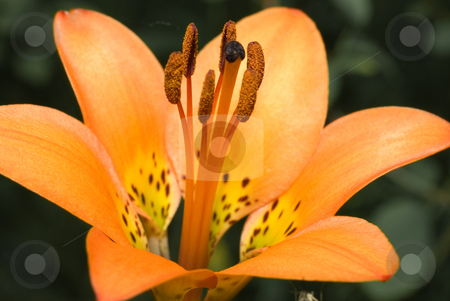 Tiger Lily stock photo, Macro view of an orange tiger lily flower by Richard Nelson