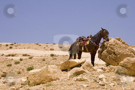 Desert Horse stock photo, Horse in the desert near Petra, Jordan. by Andrei Harwell