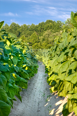 Tobacco Field stock photo, Healthy tobacco plants on a farm field. by Robert Byron