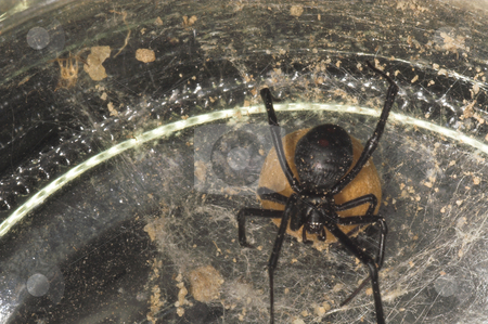 Black Widow Spider stock photo, The deadly female black widow spider in her web. by Robert Byron