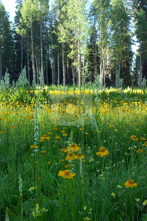 Flower Meadow stock photo, A sierra meadow boardered by Aspens and Pines and covered by flowers. by Lynn Bendickson