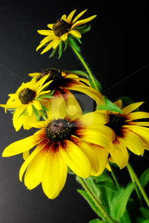 Yellow Daisies (Black-eyed Susan) stock photo, 2 variaties of Blackeyed Susans (Daisy) in a simple arrangement with fine detail. by Lynn Bendickson