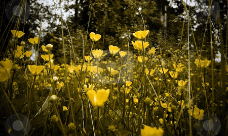 Field of Yellow Wildflowers and Grasses with Low Saturation and Vignette stock photo, Selective focus on field of yellow daisies by Mark S