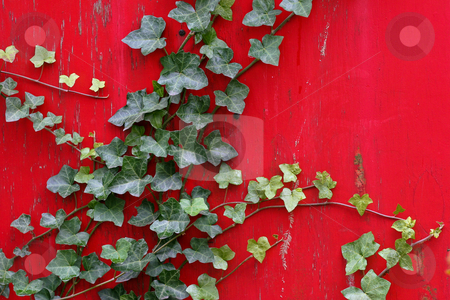 Green English Ivy On Old Bright Red Painted Wall stock photo, Ivy creeps up old house wall by Mark S
