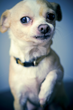 Macho Chihuahua stock photo, Little dog acting big. Photo vignetted & desaturated. by Mark S