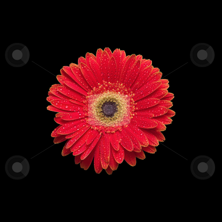 Bright Red Orange Gerbera Daisy on Black Background stock photo, Gerber daisy isolated on black by Mark S