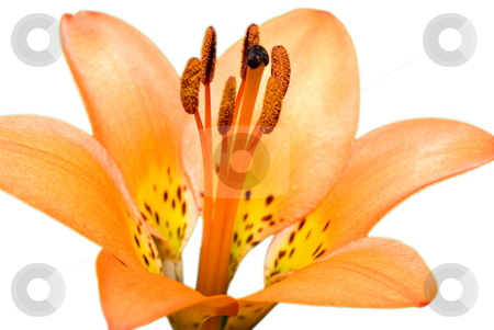 Isolated Tiger Lily stock photo, An orange tiger lily isolated on a white background by Richard Nelson