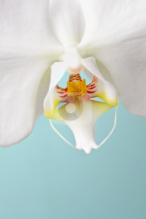 White Phalaenopsis Orchid On Soft Pale Blue Green Backgound stock photo, Beautiful white orchid macro at wedding by Mark S