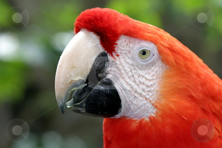 Scarlet Macaw side view stock photo, The Scarlet Macaw is a large colorful parrot. by Henrik Lehnerer