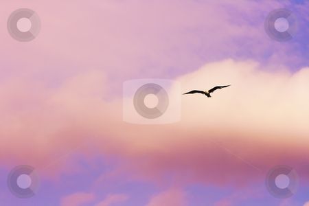 Seagull flying at the dramatic sunset sky  stock photo, Seagull flying at the dramatic sunset sky by Andrey Yanevich