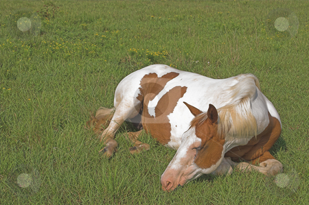 A Horse stock photo, A tired horse laying in a grassy pastrure. by Robert Byron