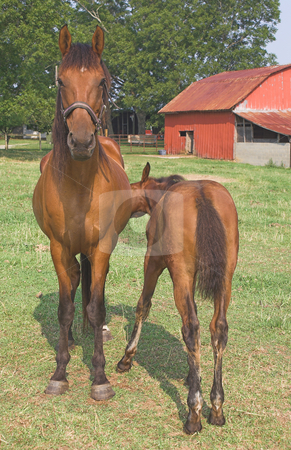 A Horse and Foal stock photo, A mother horse and her foal. by Robert Byron