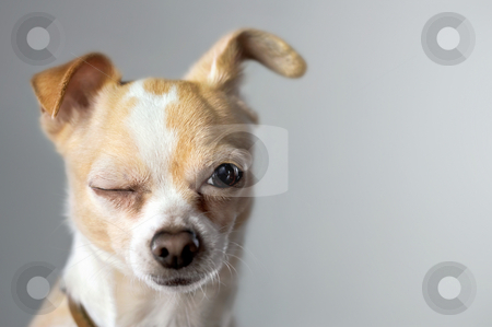 Winking Dog stock photo, Chihuahua winks at the camera as if to say hello by Mark S
