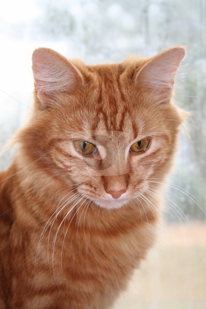 Orange tabby cat stock photo, Orange tabby cat sitting in front of a window by Debbie Hayes