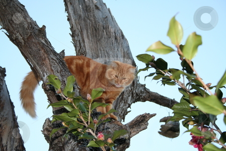 Tabby cat perched in tree stock photo, Orange tabby cat up in a tree by Debbie Hayes
