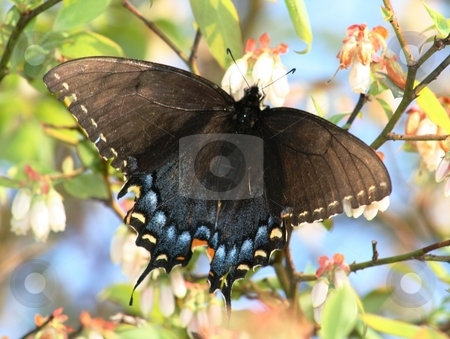 Butterfly in Blueberry Bush stock photo, Black butterfly in a blueberry bush by Debbie Hayes