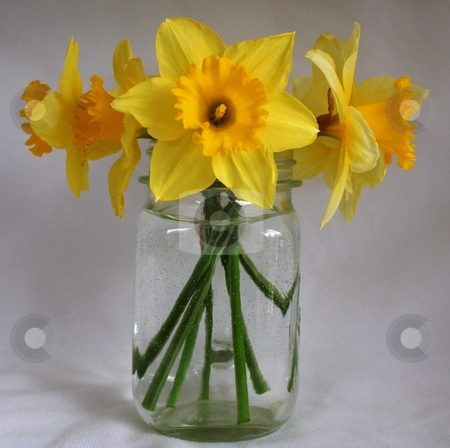 Daffodils in vase stock photo, This is a picture of buttercups in a vase in front of a white background by Debbie Hayes