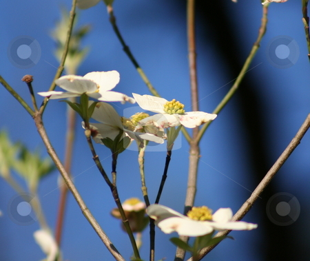 Dogwood Blooms stock photo, This is a picture of Dogwood blossoms taked against a blue sky background by Debbie Hayes