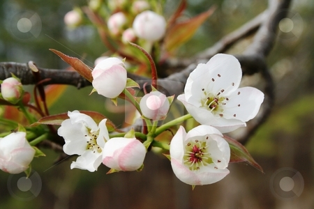 Wild Pear Tree Blossoms stock photo, The blooms on a wild pear tree. by Debbie Hayes